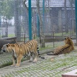 tigerkingdom -3