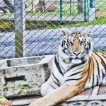 tigerkingdom - 4